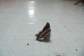 223-lyssa-zampa-moth-in-belaga