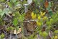 126 Rhabdophis murudensis snake at summit
