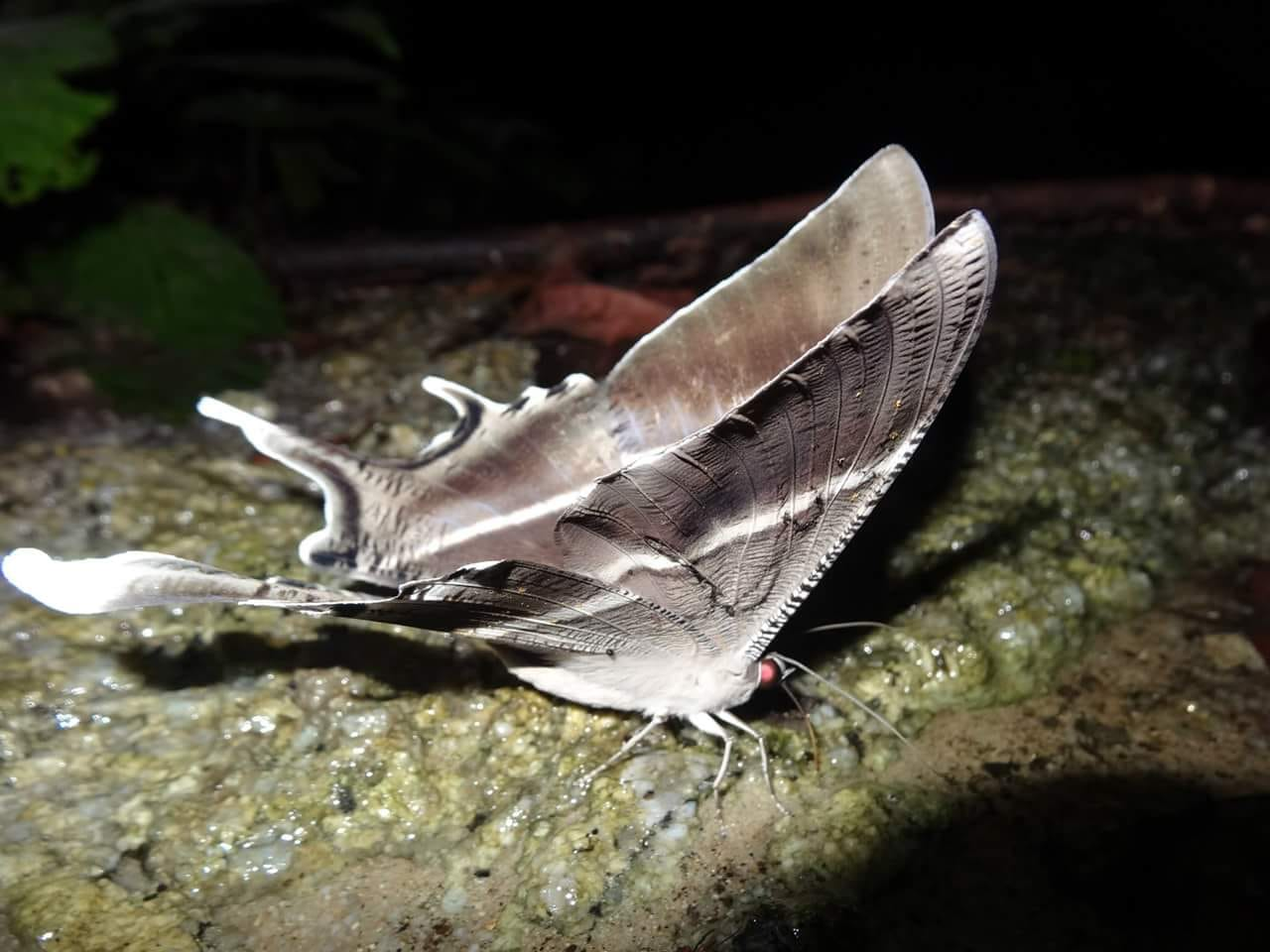 04 A night butterfly on gunung Korbu