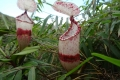 02 Pitcher plants on gunung Korbu