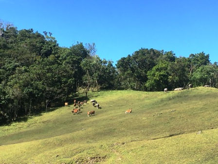 Buffalo and Bali cattle on Mundo Perdido cow pastures (Nicholas Hughes, July 2018)