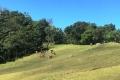 Buffalo and Bali cattle on Mundo Perdido cow pastures (Nicholas Hughes, July 2018)